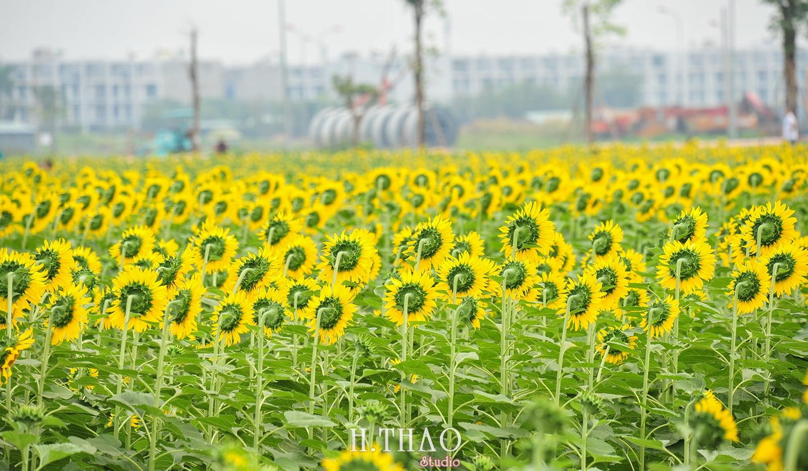 DSC 3538 - Cánh đồng hoa hướng dương tuyệt đẹp giữa Sài Gòn